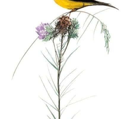 As Light As A Thistle artist proof by P Buckley Moss features Beautiful hues of sunshine yellow blended with black and browns for the bird with shades of lavender, purple and greens for the flower.