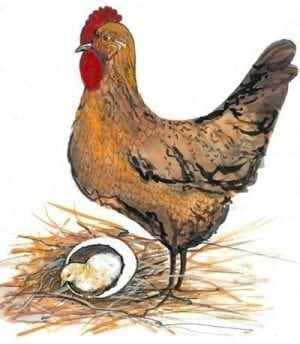 PBuckleyMoss-Waynesville-Ohio-CanadaGooseGallery-Art-Artist-LimitedEdition-Print-Chicken-egg